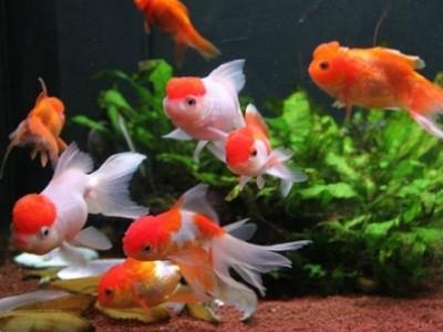 золотые рыбки живут в прохладной воде