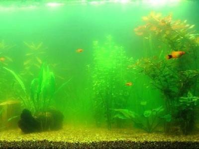 вода в аквариуме цветет из-зи водорослей