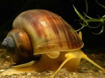молюски и сомы настоящие санитары аквариума