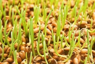 пророщенные ростки цельного зерна
