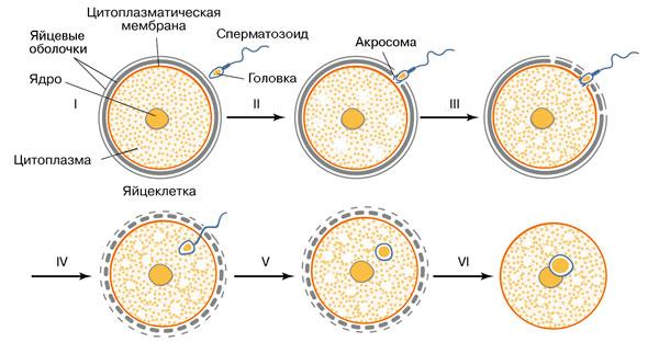 Встреча половых клеток