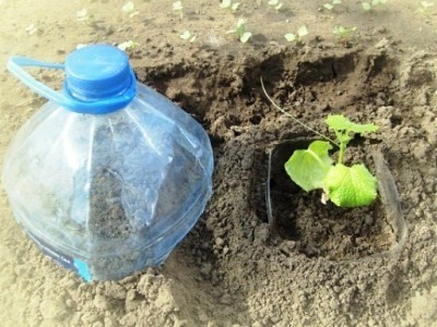 высадка в грунт вместе с обрезанной бутылкой