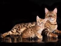 Разведение домашних бенгальских кошек