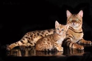 Разведение бенгальских кошек