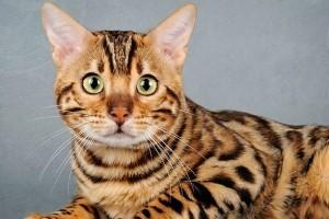 Уход и содержание бенгальской кошки