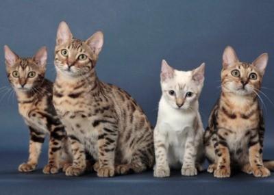 так выглядит бенгальская кошка