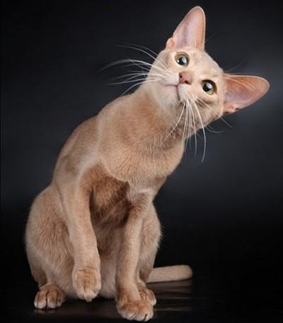 абиссинская кошка с окрасом фавн