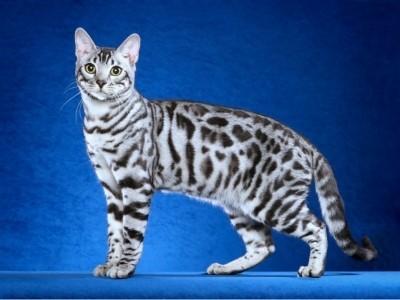бенгальская мраморная кошка