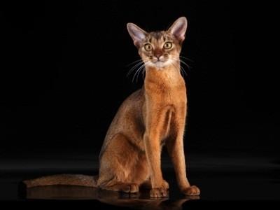 абиссинская кошка с диким окрасом