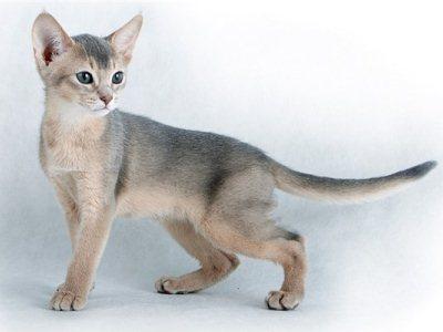абиссинская кошка с голубым окрасом