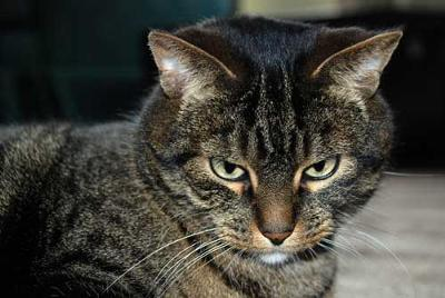 brown tabby – серьезный породистый кот