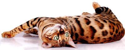 содержание бенгальского кота в доме