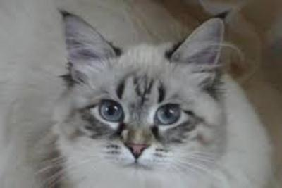 seal Lynx Point – милый котенок
