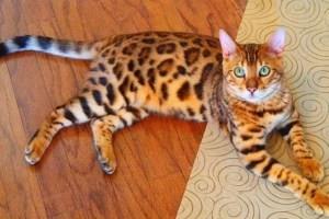 Цена бенгальской кошки