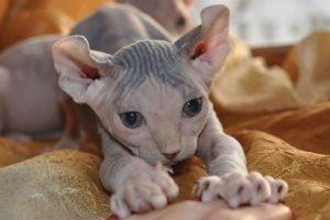Гипоалергенные породы кошек