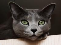 Кошка русская голубая