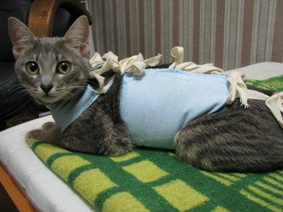 кошка в попоне (бандаже)