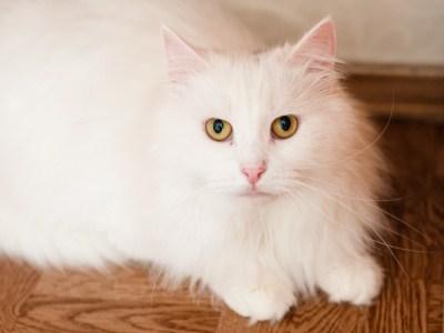 уход за шерстью кошки необходим