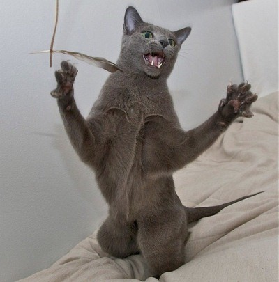 игра - любимое занятие русских голубых кошек