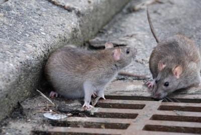 крысы и мыши - основные переносчики блох