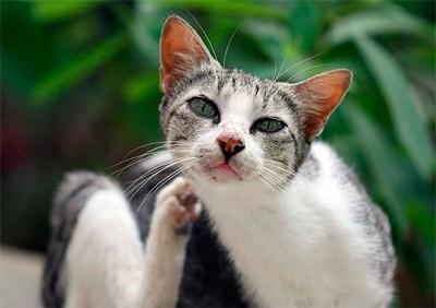 если кошка часто чешется, то у неё могут быть блохи