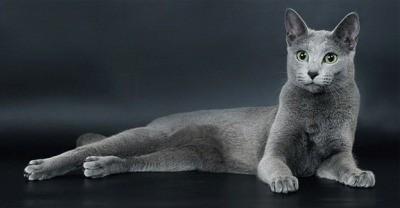 русская голубая - порода средних размеров