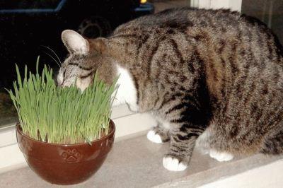 пророщенные ростки пшеницы полезны беременной кошке