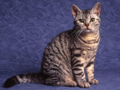 американская жесткошёрстная кошка