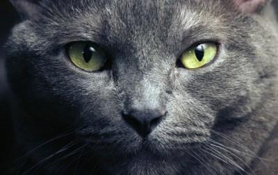 все кошки этой породы имеют зелёный цвет глаз