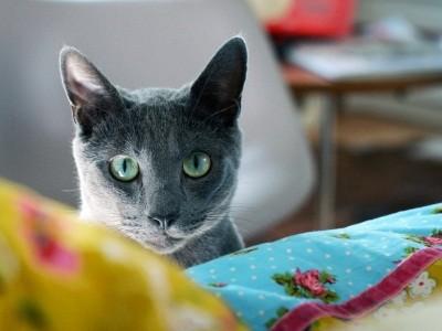 уход за русскими голубыми кошками минимален