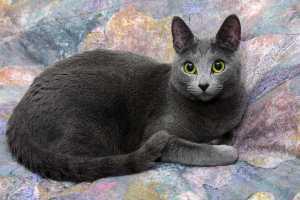 Где купить русскую голубую кошку