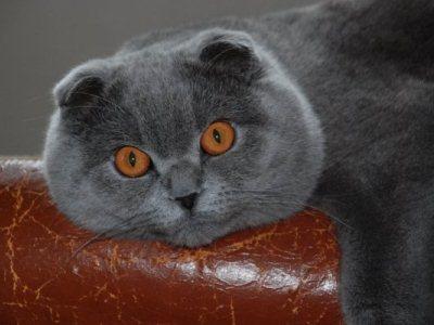 вязку кошек данной породы можно осуществлять только с годовалого возраста питомца