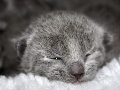 иногда выбрать породистого котёнка очень трудно