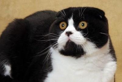 британские вислоухие - кошки среднего размера с плотным телом