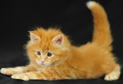 рыжей шубкой могут похвастаться котики