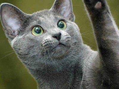 питомники в Беларуси выпускают прекрасных общительных кошек