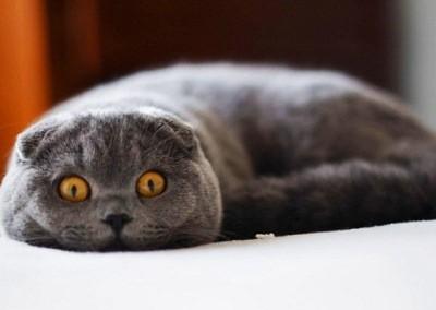 кошки этой породы предрасположены к некоторым заболеваниям