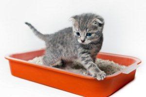 Как приучить котенка к лотку