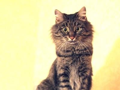 состояние шерсти может рассказать о возрасте кошки
