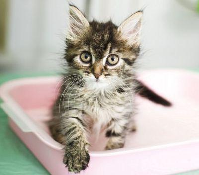 приучить котёнка к лотку совсем несложно