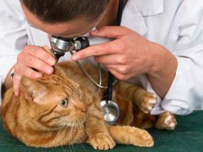 ветеринар сможет назначить подходящее лекарство кошке и помочь удалить клещей