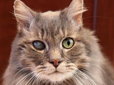 катаракта чаще встречается у пожилых кошек