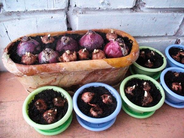 Групповая высадка луковиц гиацинта