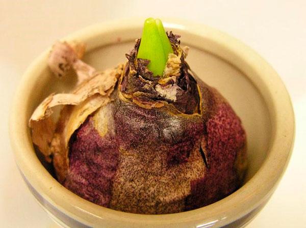 Подходящий размер горшка для луковицы гиацинта