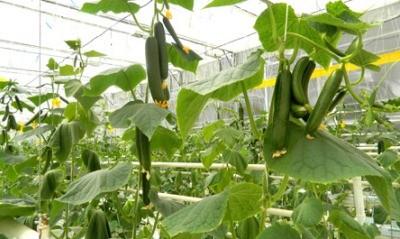 дружное созревание зеленцов