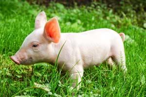 Свинка-мутант
