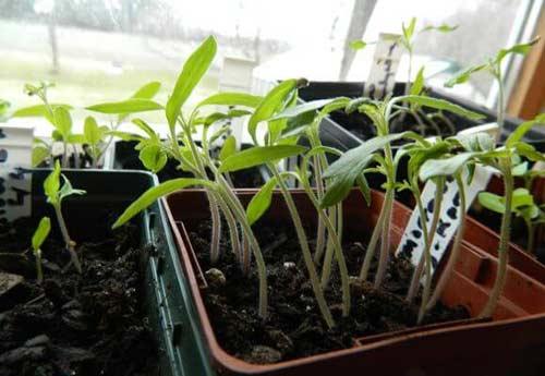 Вытянутые сеянцы томатов