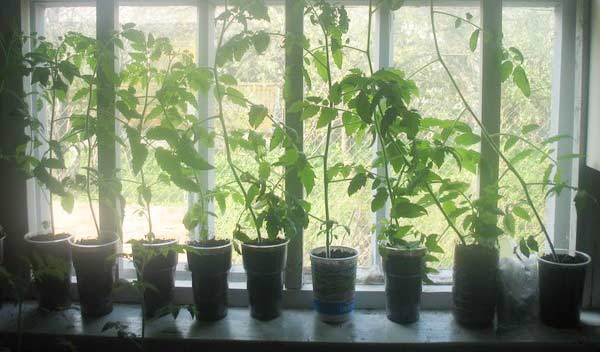 Что делать, если растения вытянулись