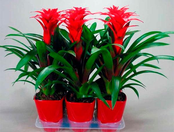 Экзотическое растение в горшке порадует в праздничный день