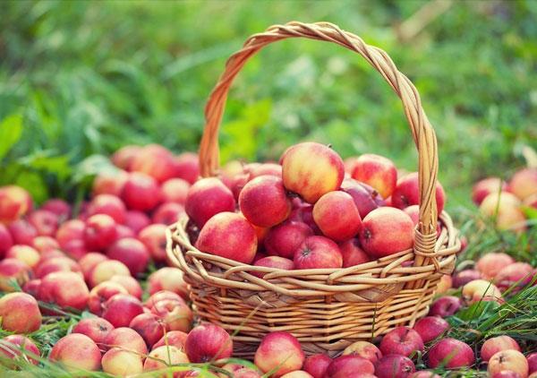 Изобилие яблок считалось доброй приметой